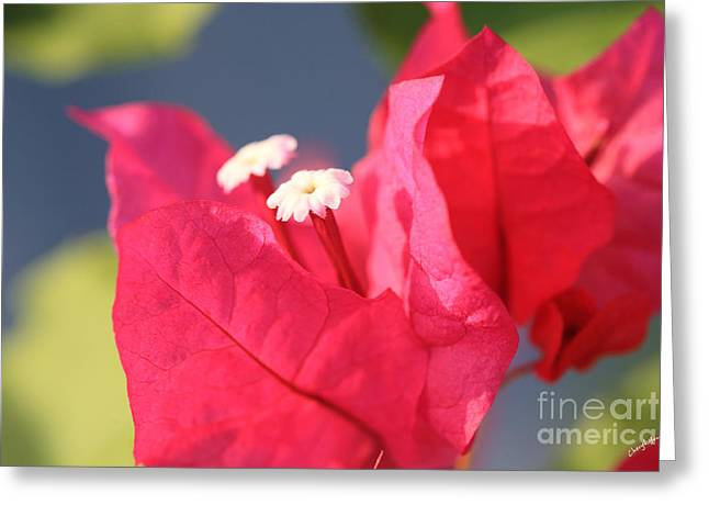 Nicaragua Greeting Cards - Bougainvillea 3 Greeting Card by Cheryl Young