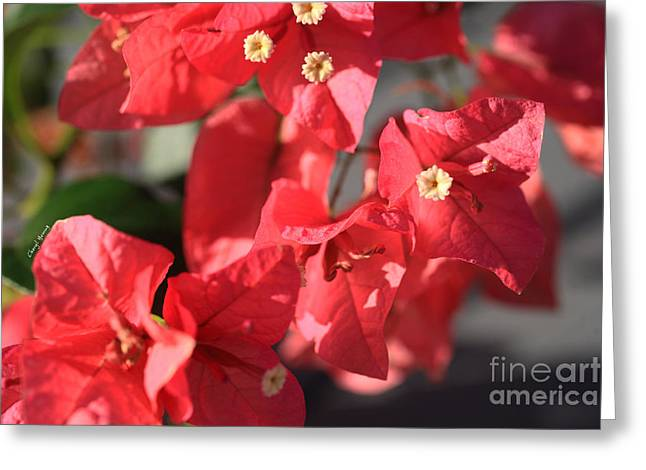 Nicaragua Greeting Cards - Bougainvillea 4 Greeting Card by Cheryl Young