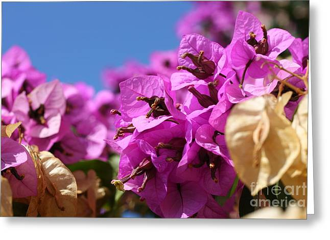 Nyctaginaceae Greeting Cards - Bougainvillea Greeting Card by Tomislav Zivkovic