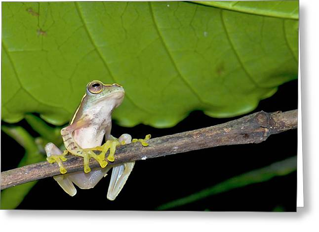 Boulenger's Tree Frog Greeting Card by K Jayaram