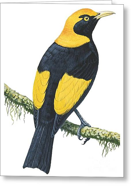 Vertical Drawings Greeting Cards - Bowerbird  Greeting Card by Anonymous