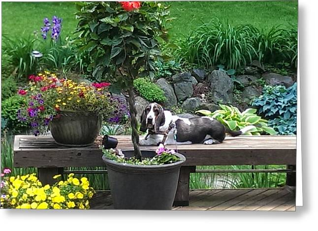 Hounddog Greeting Cards - Bowie in the garden Greeting Card by Tim Donovan