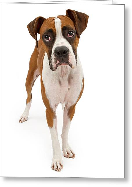 Tri Colored Greeting Cards - Boxer Dog Isolated on White Greeting Card by Susan  Schmitz