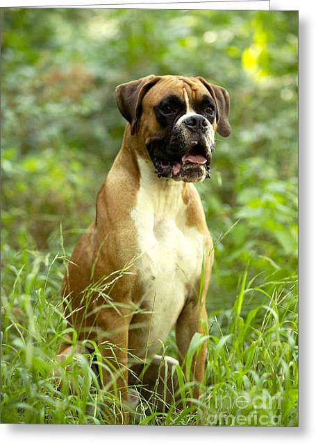 Boxer Dog Greeting Card by Jean-Michel Labat