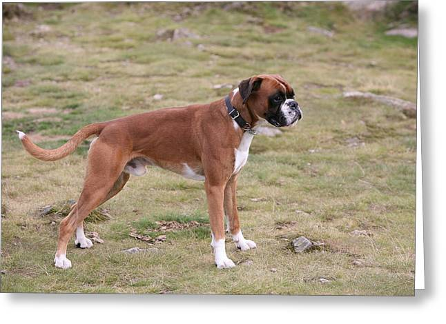 Mark Severn Greeting Cards - Boxer Dog Greeting Card by Mark Severn