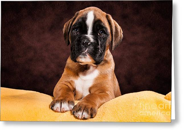 Boxer dog puppy Greeting Card by Doreen Zorn