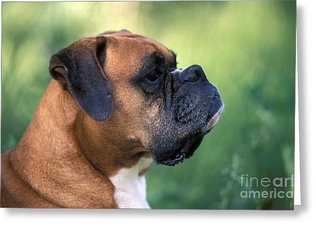 Grumpy Face Greeting Cards - Boxer Head Greeting Card by Rolf Kopfle
