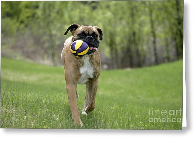 Dog Playing Ball Greeting Cards - Boxer Playing With Ball Greeting Card by Rolf Kopfle