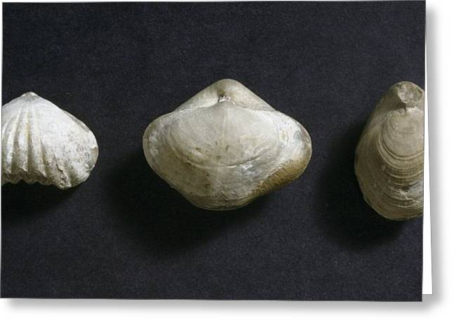 Castleton Greeting Cards - Brachiopod fossils Greeting Card by Science Photo Library