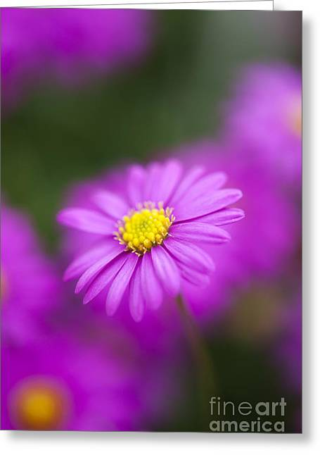 Lilac Greeting Cards - Swan River Daisy Greeting Card by Tim Gainey