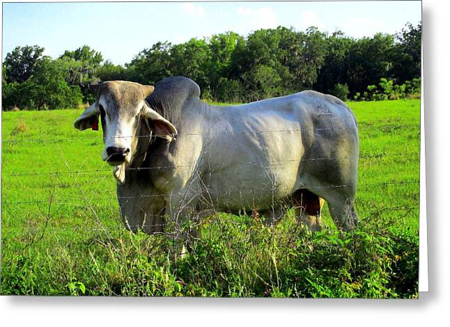 Brahma Bull Greeting Cards - Brahma Bull Greeting Card by Buzz  Coe