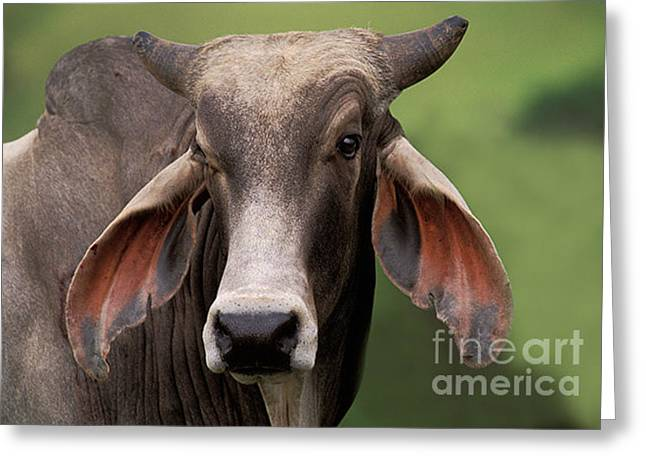 Steer Greeting Cards - Brahma Bull Greeting Card by Ron Sanford