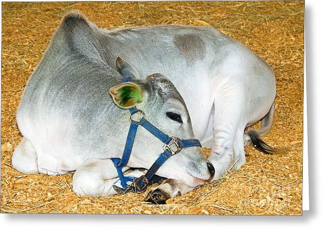 Sacred Cow Greeting Cards - Brahman Calf Greeting Card by Millard H. Sharp
