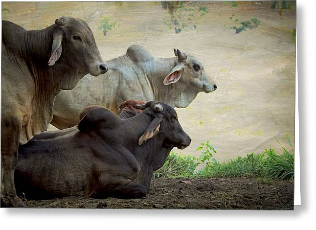 Costa Mixed Media Greeting Cards - Brahman Cattle Greeting Card by Peggy Collins