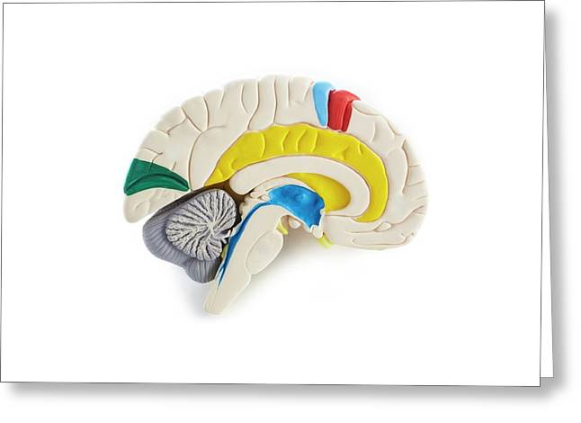 Brain Anatomy Model Greeting Card by Science Photo Library