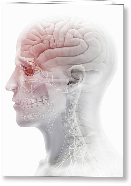 Cerebral Cortex Greeting Cards - Brain And Nerves Of The Head Greeting Card by Science Picture Co