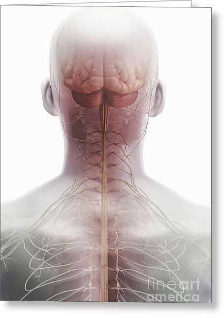 Cerebral Hemisphere Greeting Cards - Brain And Spinal Cord Greeting Card by Science Picture Co