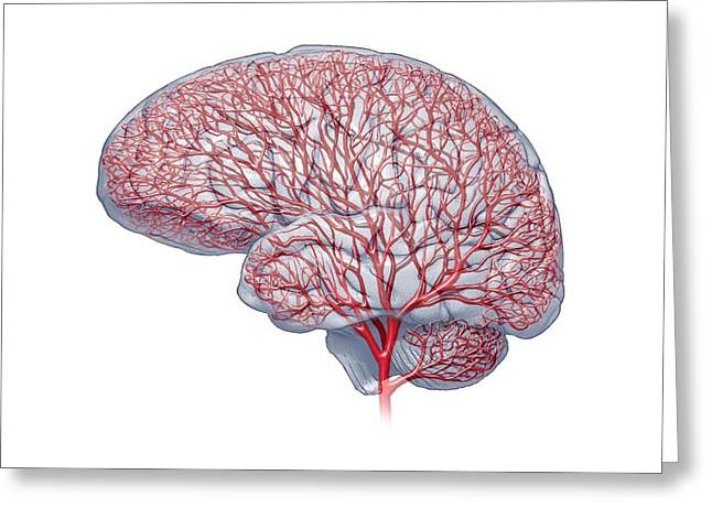 Left Hemisphere Greeting Cards - Brain blood vessels, artwork Greeting Card by Science Photo Library