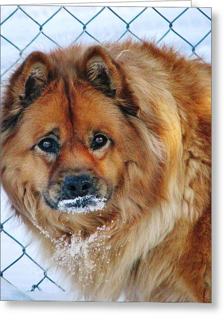 Dogs In Snow. Greeting Cards - Missies  Brain Freeze Greeting Card by Judyann Matthews