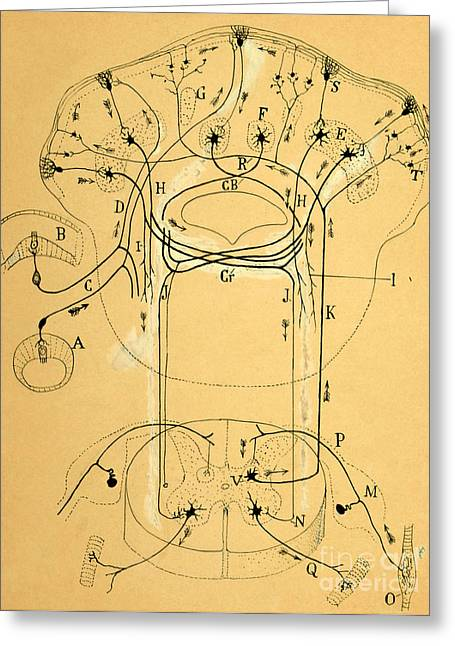 Brain Vestibular Sensor Connections By Cajal 1899 Greeting Card by Science Source
