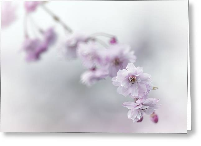 Flower Blossom Greeting Cards - Branch of cherry IV Greeting Card by Radka Linkova
