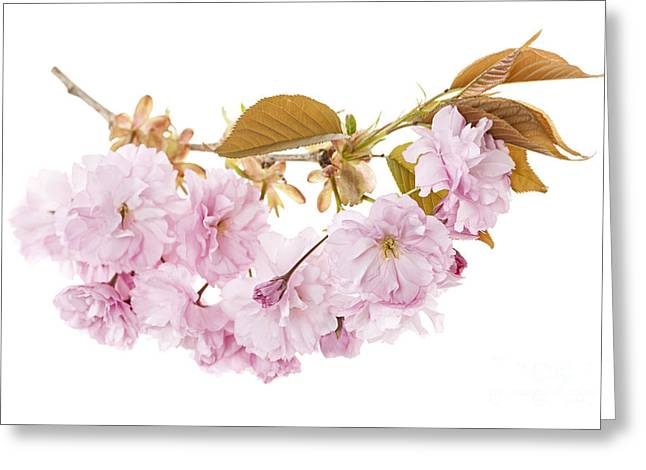 Flower Blooms Greeting Cards - Branch with cherry blossoms Greeting Card by Elena Elisseeva