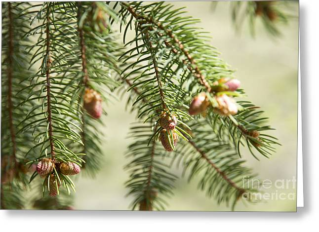 Pine Cones Greeting Cards - Branches Greeting Card by Idaho Scenic Images Linda Lantzy