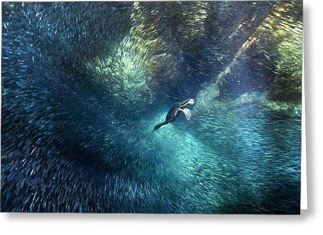 Brandt's Cormorant Fishing Greeting Card by Christopher Swann