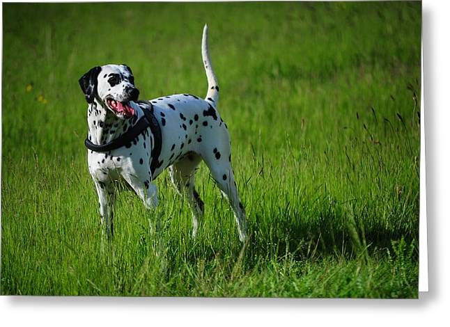Spotted Dogs Greeting Cards - Brave Stand. Kokkie. Dalmation Dog Greeting Card by Jenny Rainbow