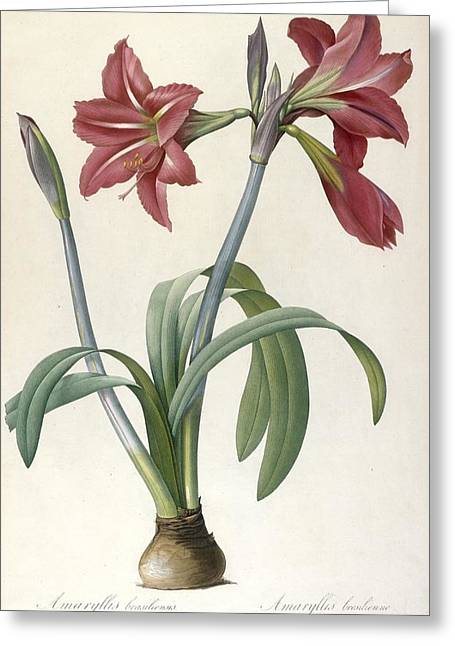 Spring Bulbs Greeting Cards - Brazilian Amaryllis Greeting Card by Pierre Joseph Redoute