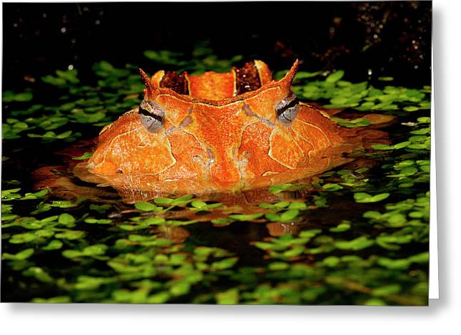 Brazilian Horn Frog, Ceratophrys Greeting Card by David Northcott