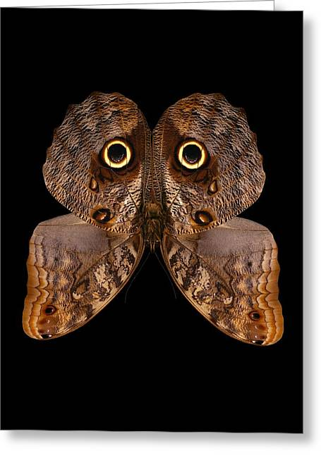 Brasiliensis Greeting Cards - Brazilian owl butterfly Greeting Card by Science Photo Library