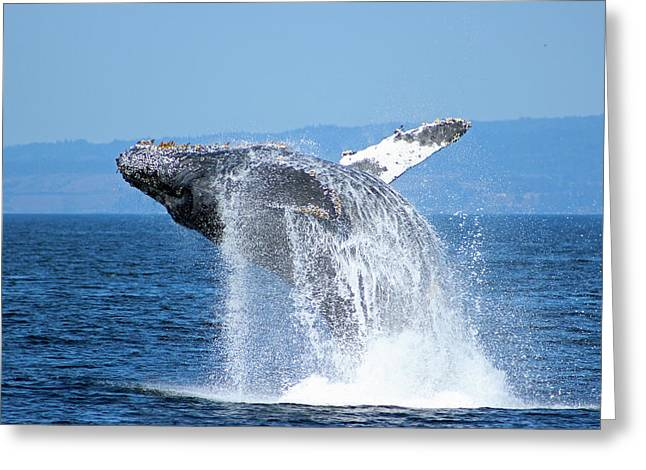 Ocean Mammals Greeting Cards - Breaching Humpback Greeting Card by Deana Glenz
