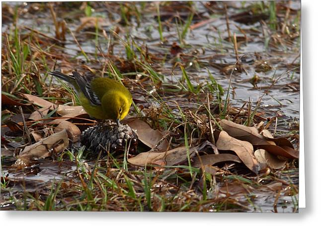 Bird In Tree Greeting Cards - Breakfast for a Pine Warbler Greeting Card by Linda Unger