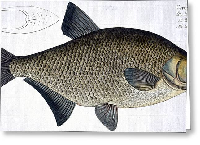 Angling Drawings Greeting Cards - Bream Greeting Card by Andreas Ludwig Kruger
