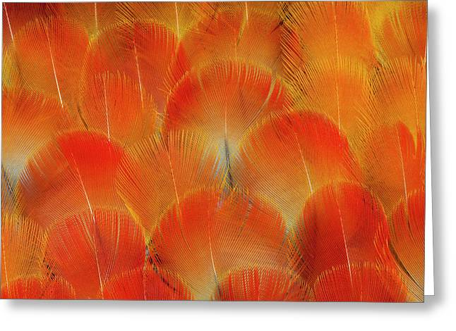 Breast Feathers Of The Camelot Macaw Greeting Card by Darrell Gulin