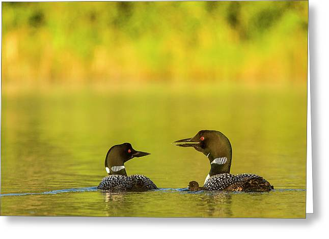 Breeding Pair Of Common Loons Greeting Card by Chuck Haney