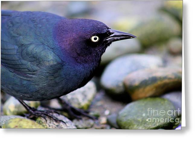Brewer Paintings Greeting Cards - Brewers Blackbird Greeting Card by Sue Harper