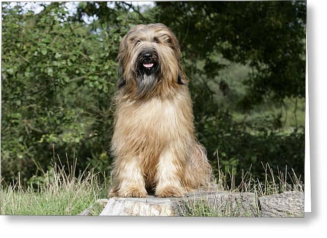 Hairy Dog Greeting Cards - Briard Dog Greeting Card by John Daniels