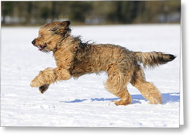 Briard Running In Snow Greeting Card by John Daniels