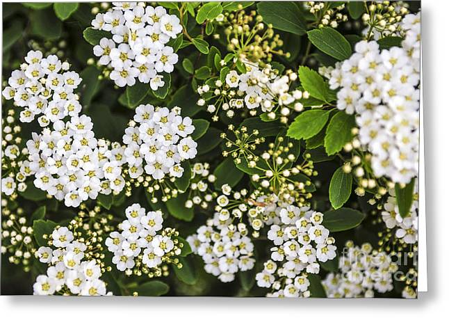 Spirea Greeting Cards - Bridal wreath flowers Greeting Card by Elena Elisseeva