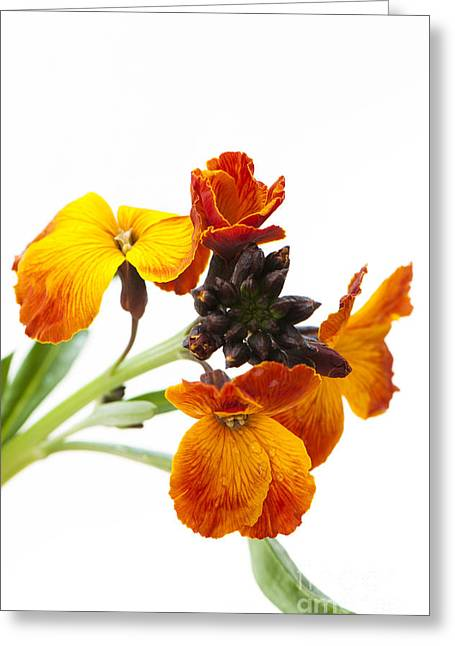Wallflower Greeting Cards - Bright and Beautiful Greeting Card by Anne Gilbert