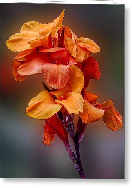 Canna Lily Greeting Cards - Bright Canna Lily Greeting Card by Linda Phelps