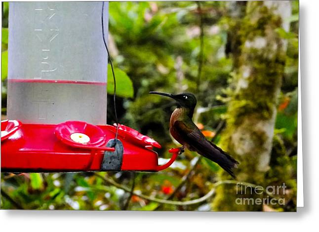 Hovering Greeting Cards - Bright Eyed Mindo Hummingbird Greeting Card by Al Bourassa