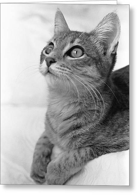 American Shorthair Greeting Cards - Bright Eyes Greeting Card by Bill Caldwell -        ABeautifulSky Photography