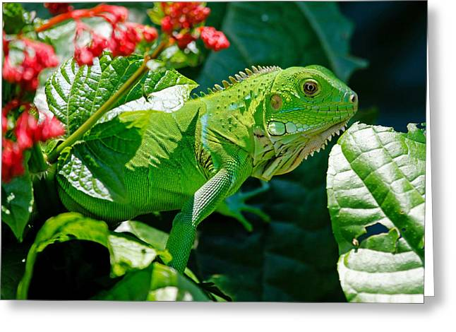 Iguana Greeting Cards - Bright Green Iguana Greeting Card by Mountain Dreams