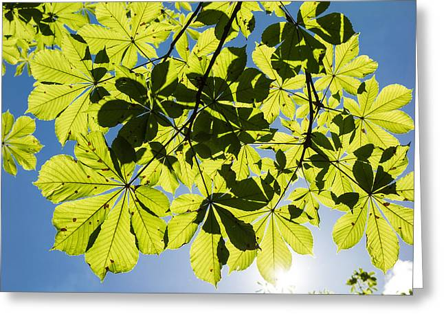 Himmel Greeting Cards - Bright green leaves and blue sky in spring Greeting Card by Matthias Hauser