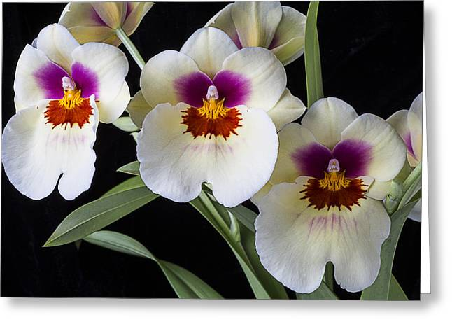 Row Greeting Cards - Bright Miltonia Orchids Greeting Card by Garry Gay