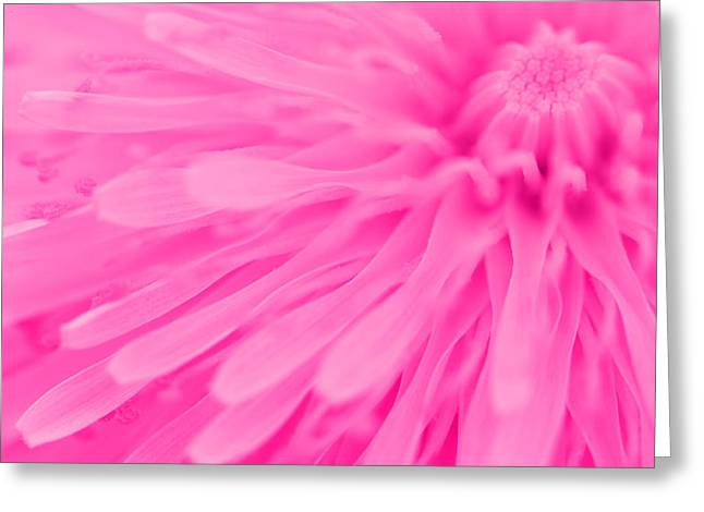 Vivid Colour Greeting Cards - Bright Pink Dandelion Close Up Greeting Card by Natalie Kinnear