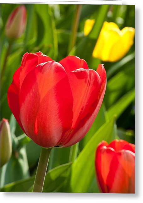 Bright Red Tulip Greeting Card by Karol Livote